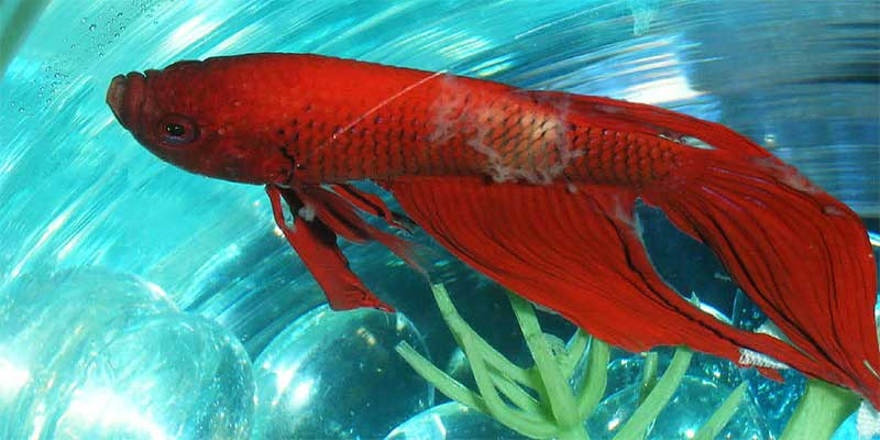 Betta fish diseases sick betta fish for Fungus in fish tank