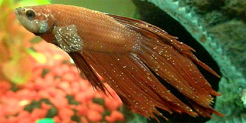 Betta fish diseases sick betta fish for Sick betta fish
