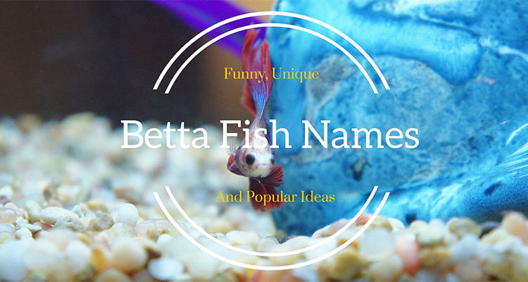 439 Amazing Betta Fish Names [Male & Female] | Bettafish org