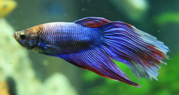 Betta Fish Information Care Community