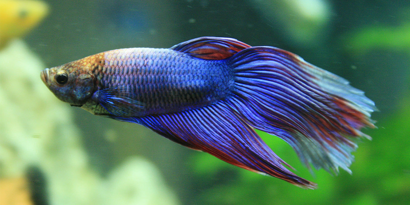 Betta fish information care community for Big betta fish