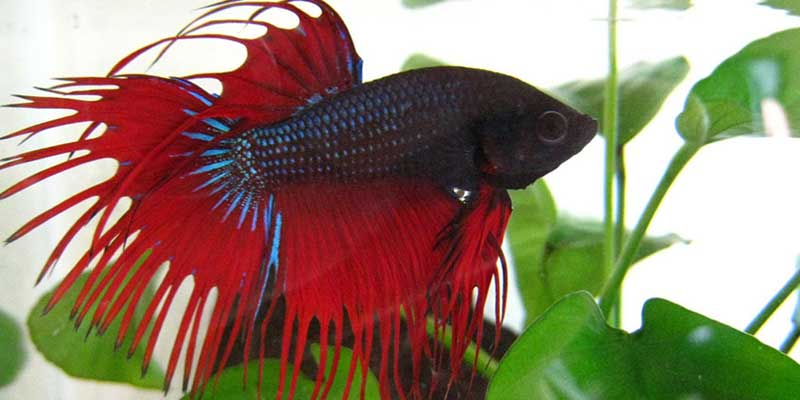 5 ways to keep the betta environment healthy