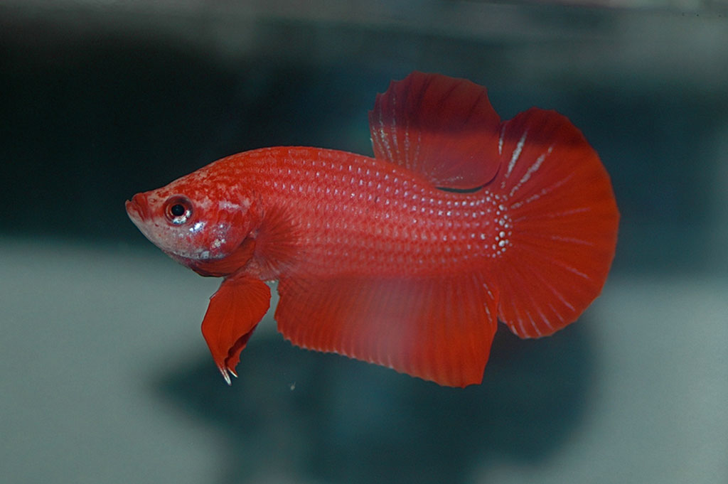 Betta fish information care community for Female betta fish names