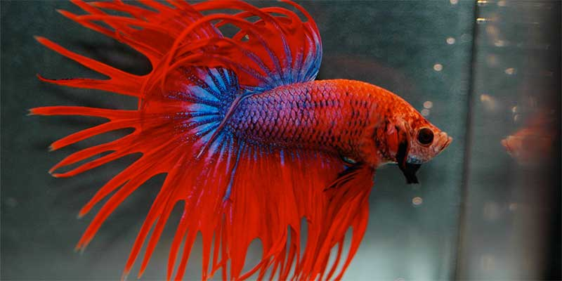 male betta fish anatomy