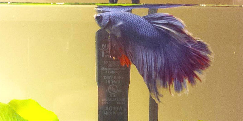 Male Betta Fish Names