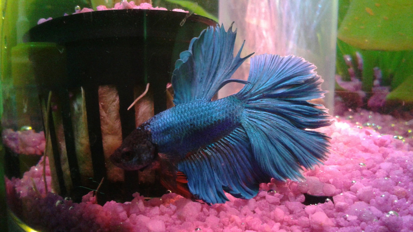 Owner spotlight jeanine and sousuke for Betta fish ich