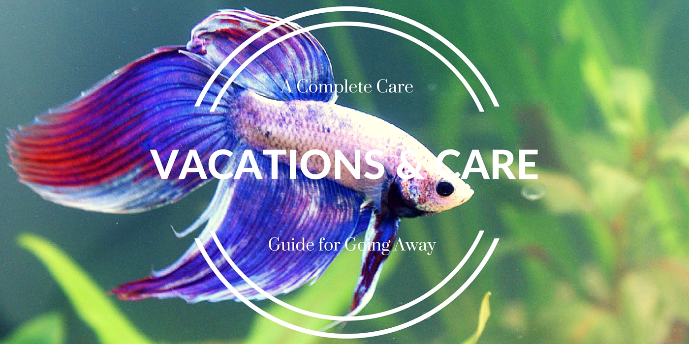 Betta fish care while on vacation for Betta fish care guide