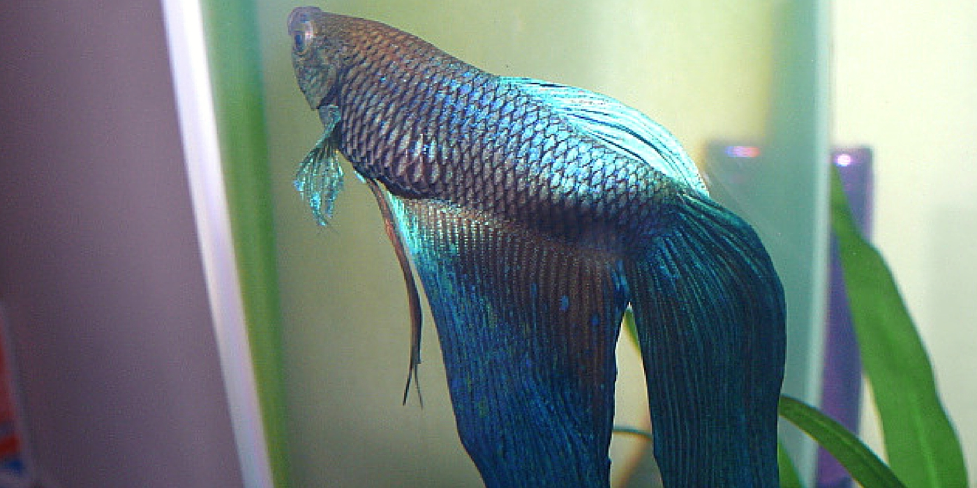 Betta Fish with SBD