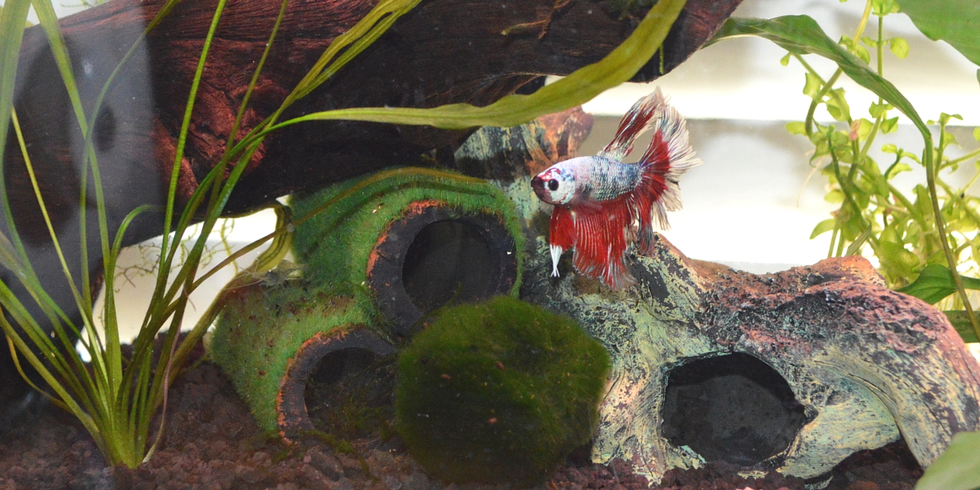 Owner spotlight vanessa and blaze for Betta fish natural environment