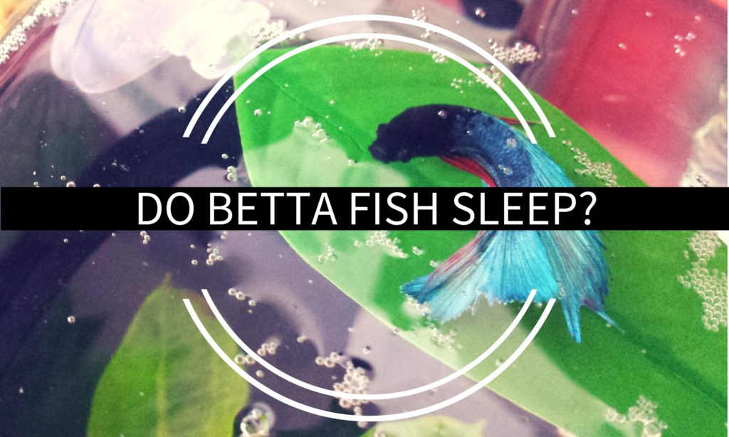 Do betta fish sleep answered for What type of water do betta fish need