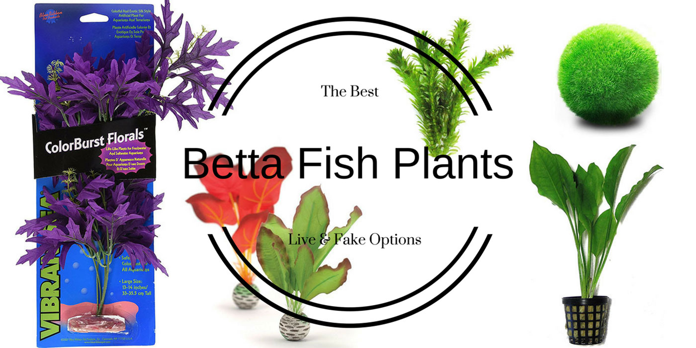 Betta fish plants best live and fake options for What kind of fish can live with a betta