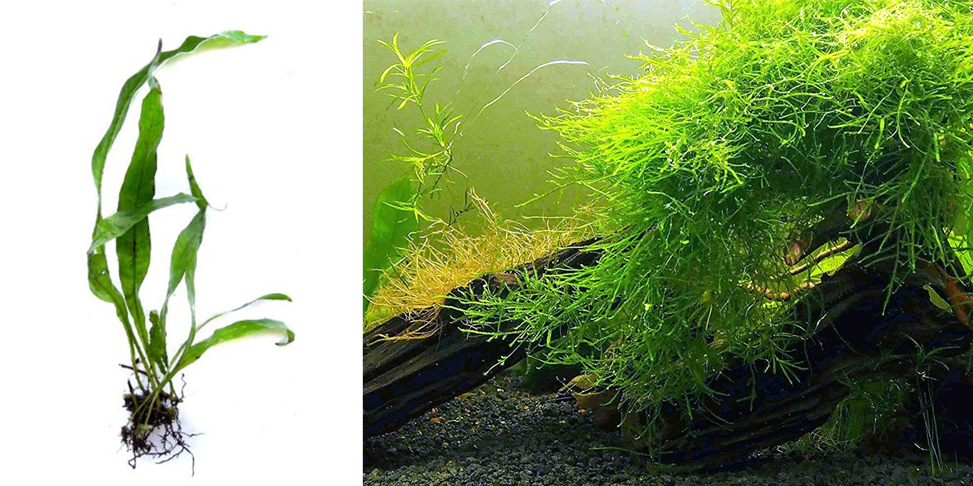Live Java Fern and Java Moss Plants