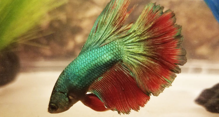 betta fish fin rot symptoms causes treatment