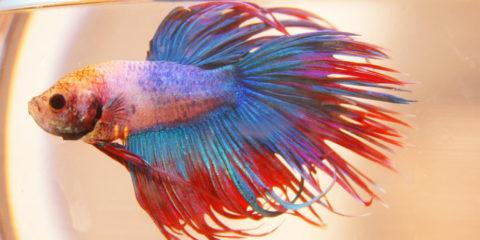 Do betta fish grow?