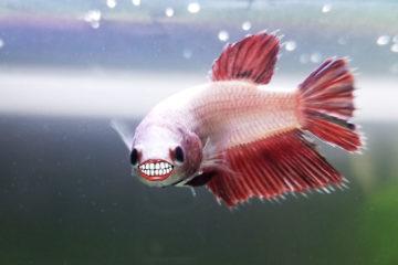 How Long Do Betta Fish Live Average Lifespans Bettafish Org