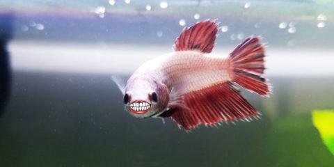 Do Betta Fish Grow? How Big? | Bettafish org