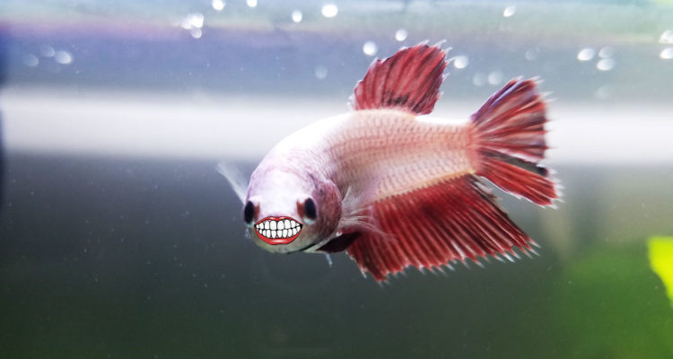 Do betta fish have teeth for Baby betta fish