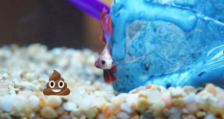 Do Betta Fish Poop? | Bettafish org