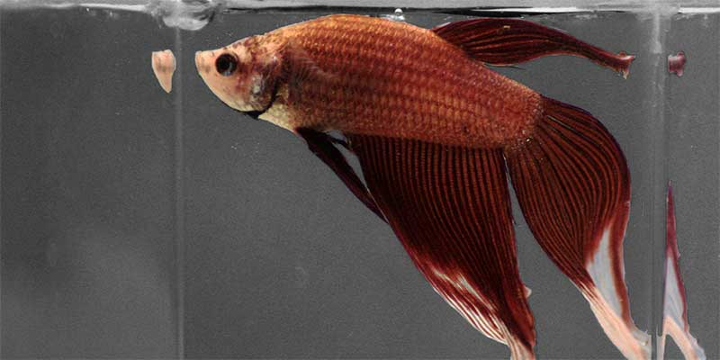 The ultimate betta fish food and feeding guide for How much are betta fish