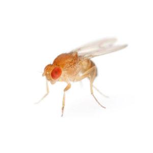 Wingless Flightless Fruit Fly