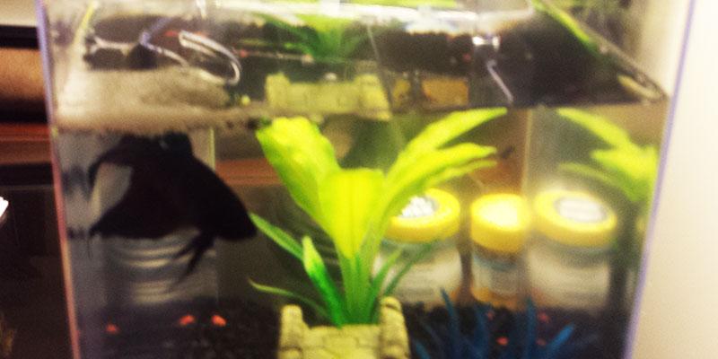 Male Betta Fish Bubble Nest